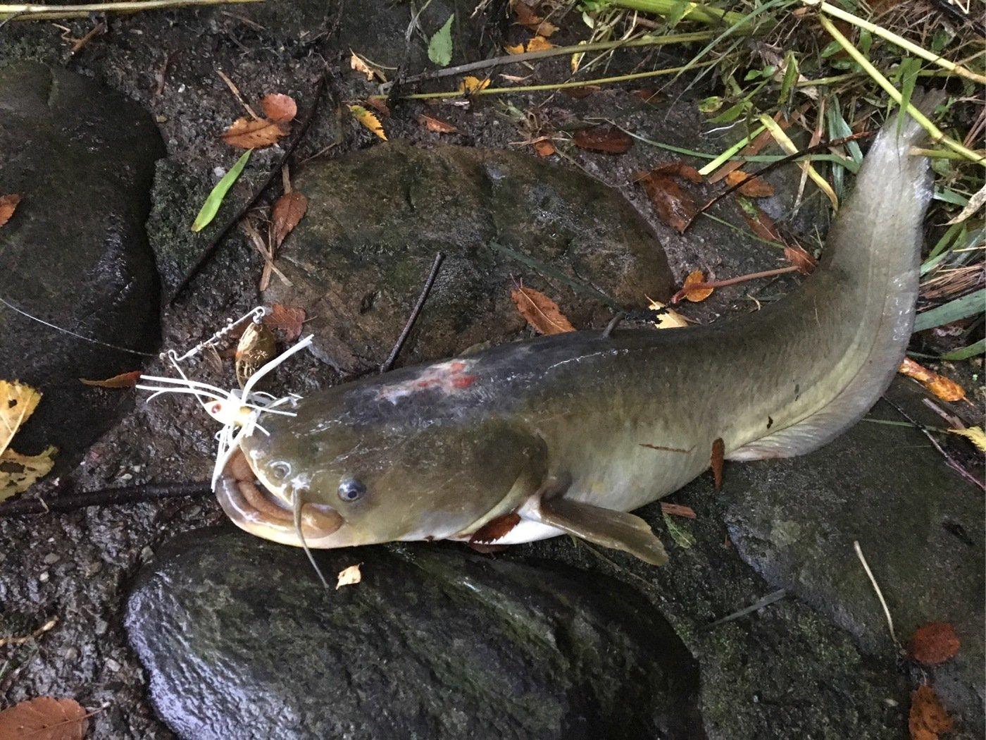 ちょいなちょいなさんの投稿画像,写っている魚はナマズ
