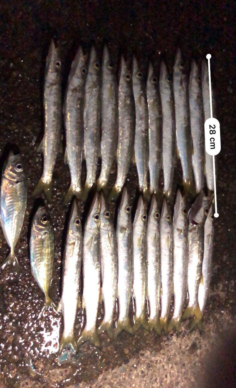 グッさんさんの投稿画像,写っている魚はカマス,アジ