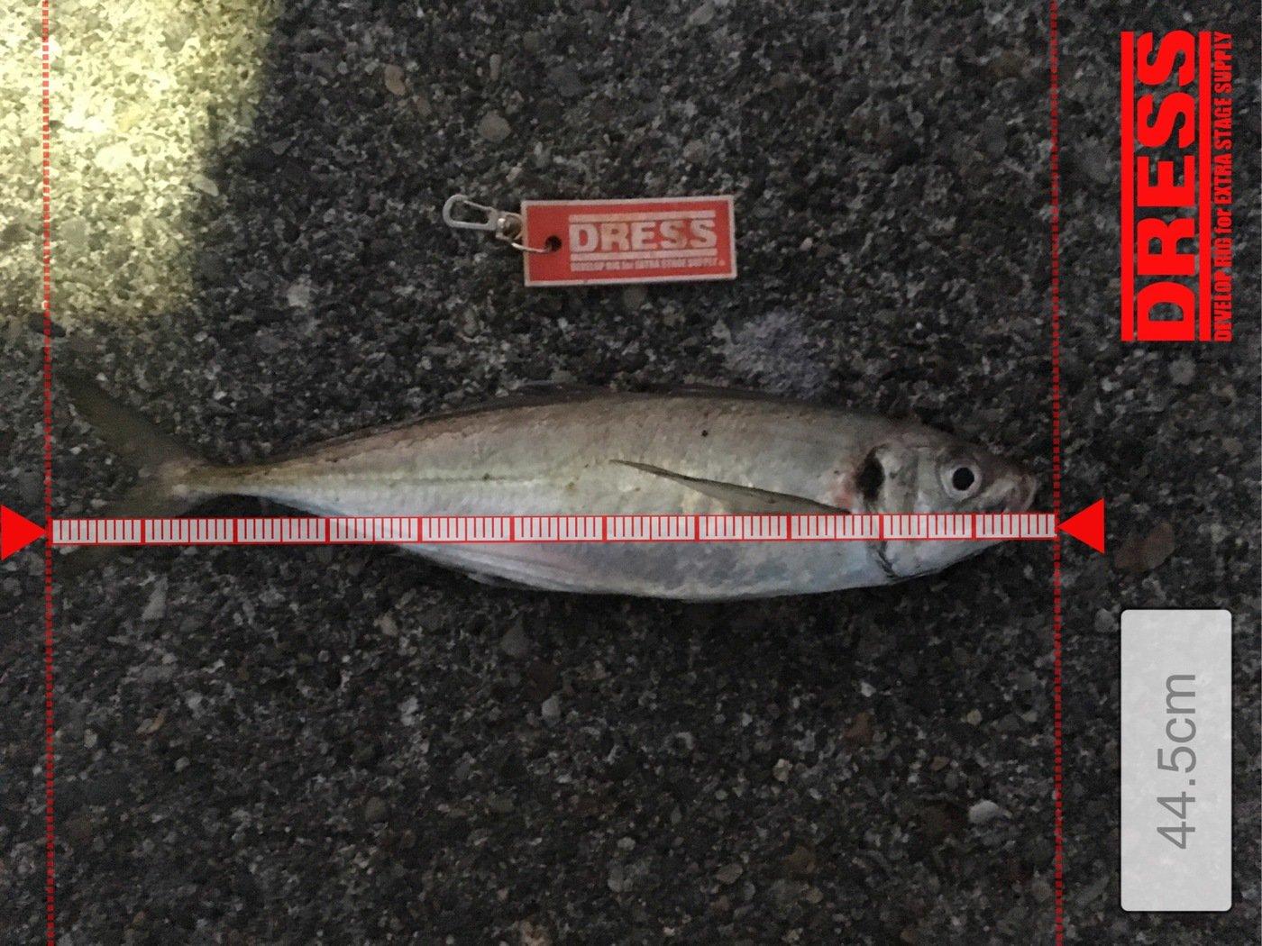 たいせーさんの投稿画像,写っている魚はアジ