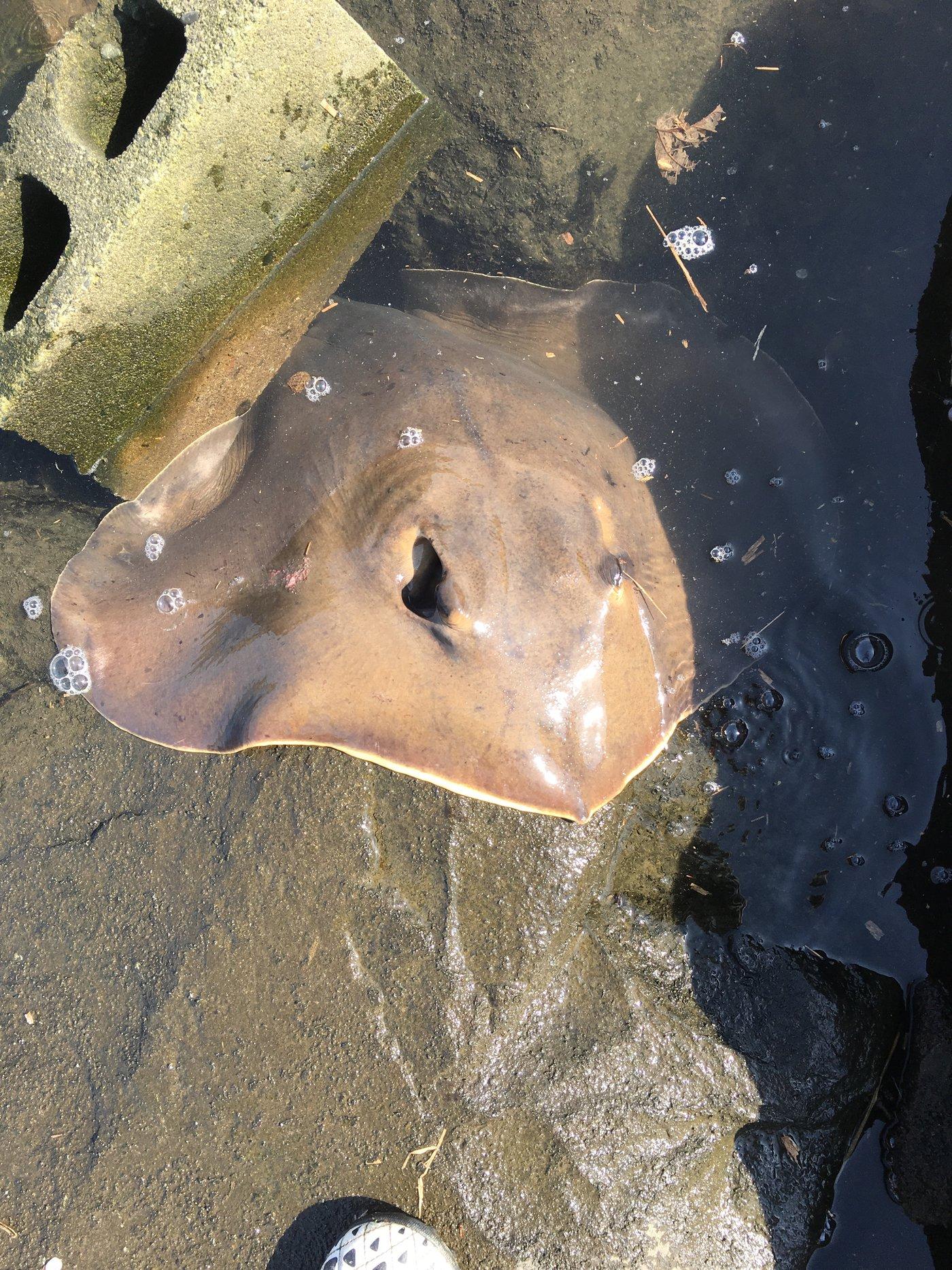 健斗さんの投稿画像,写っている魚はアカエイ