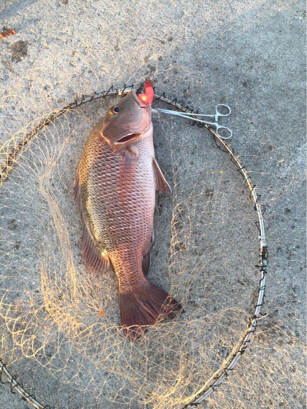 たくやさんの投稿画像,写っている魚はゴマフエダイ