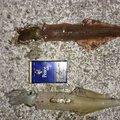 そうたさんの新潟県佐渡市での釣果写真