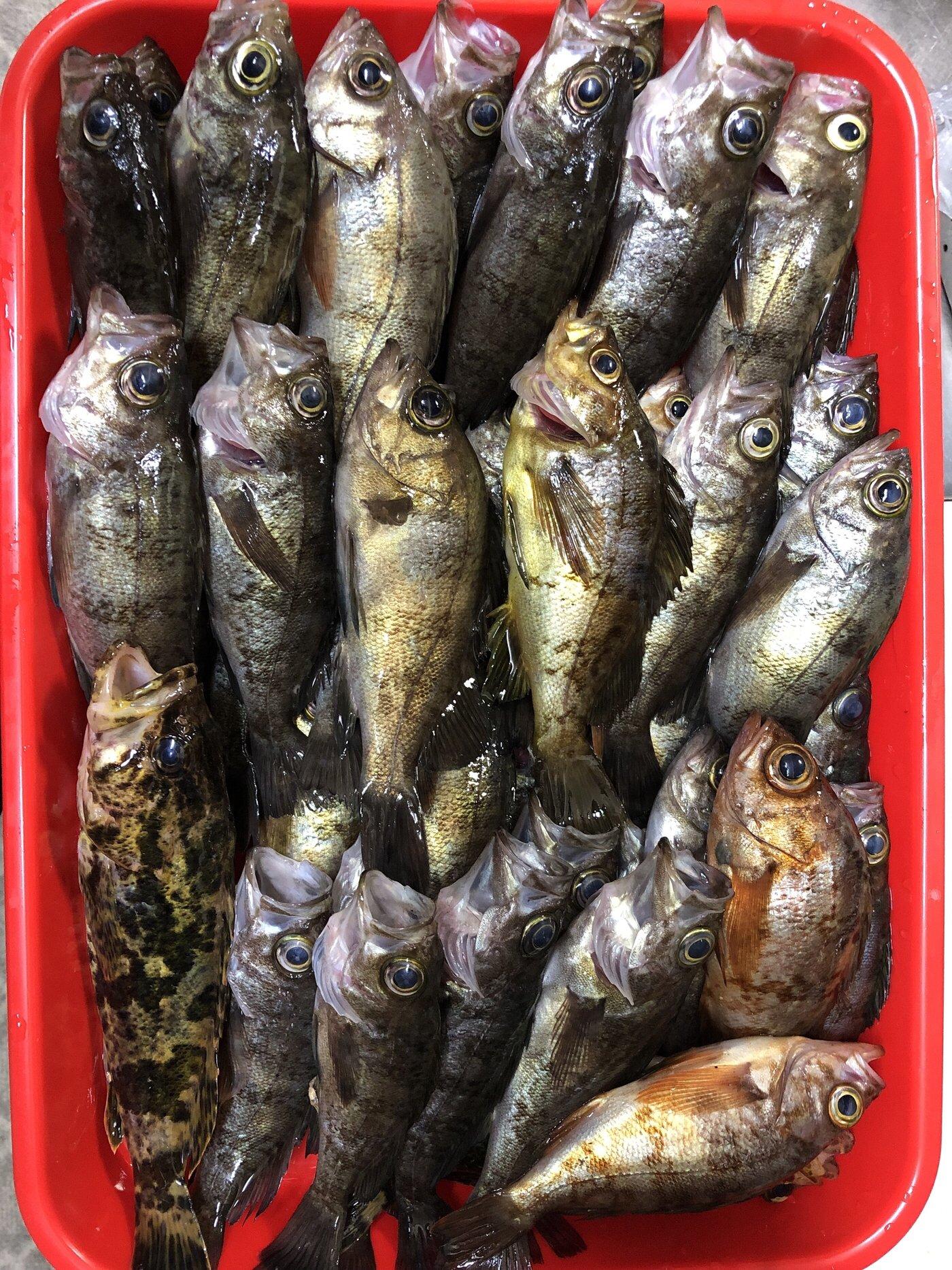 ゆうじさんの投稿画像,写っている魚はメバル,タケノコメバル