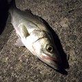 たろうさんの新潟県阿賀野市での釣果写真
