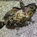 はぐれメバルさんの香川県丸亀市での釣果写真