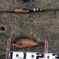 タマさんの神奈川県でのメバルの釣果写真