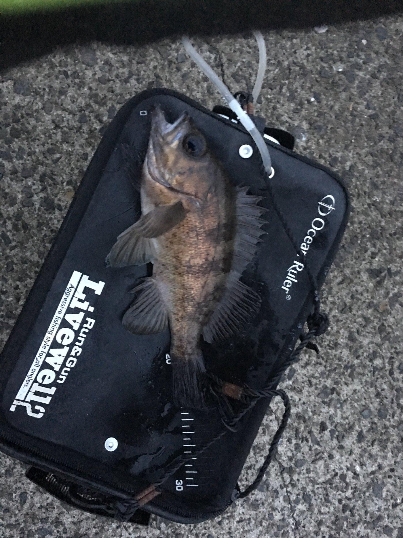 サカやんさんの投稿画像,写っている魚はメバル,カサゴ
