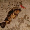 フォーさんの愛知県碧南市での釣果写真