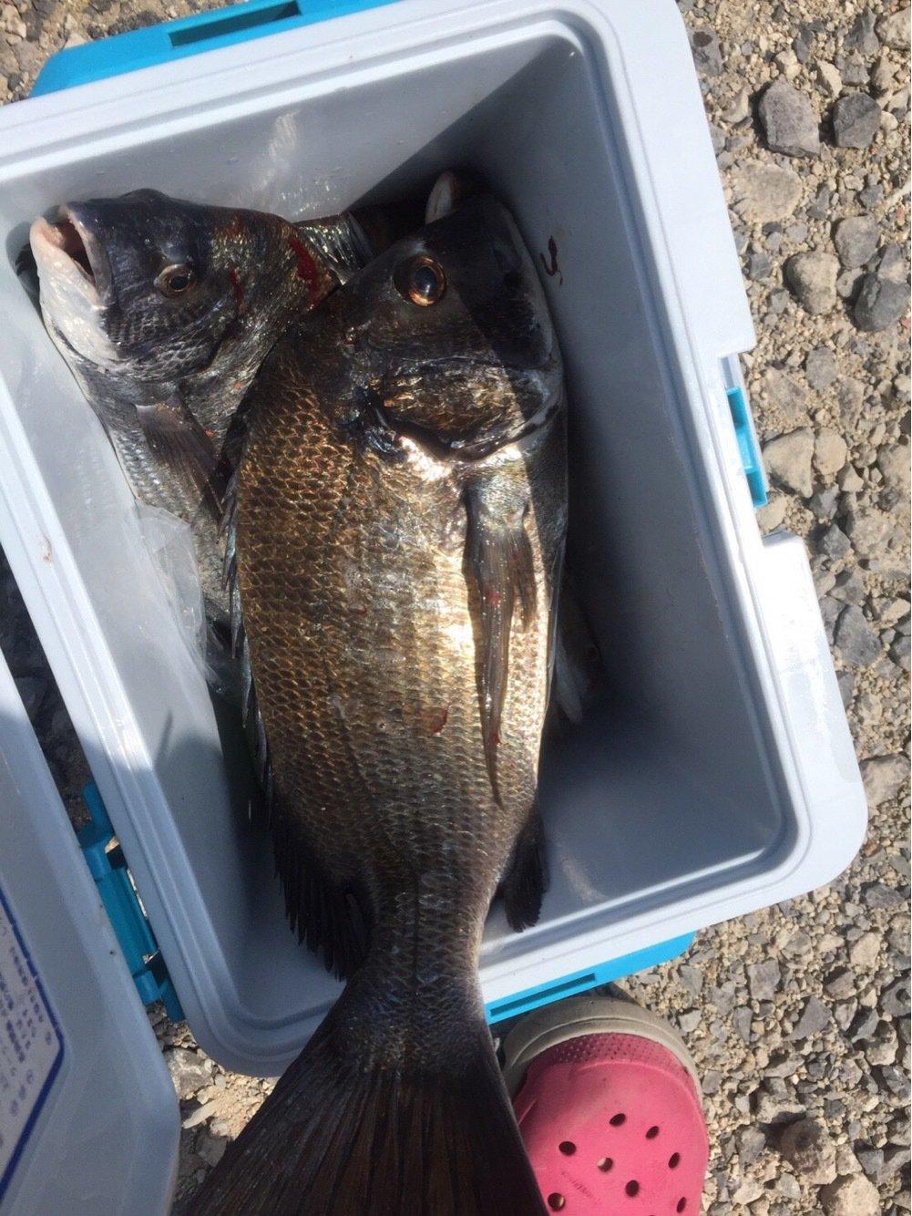 たくさんの投稿画像,写っている魚はクロダイ