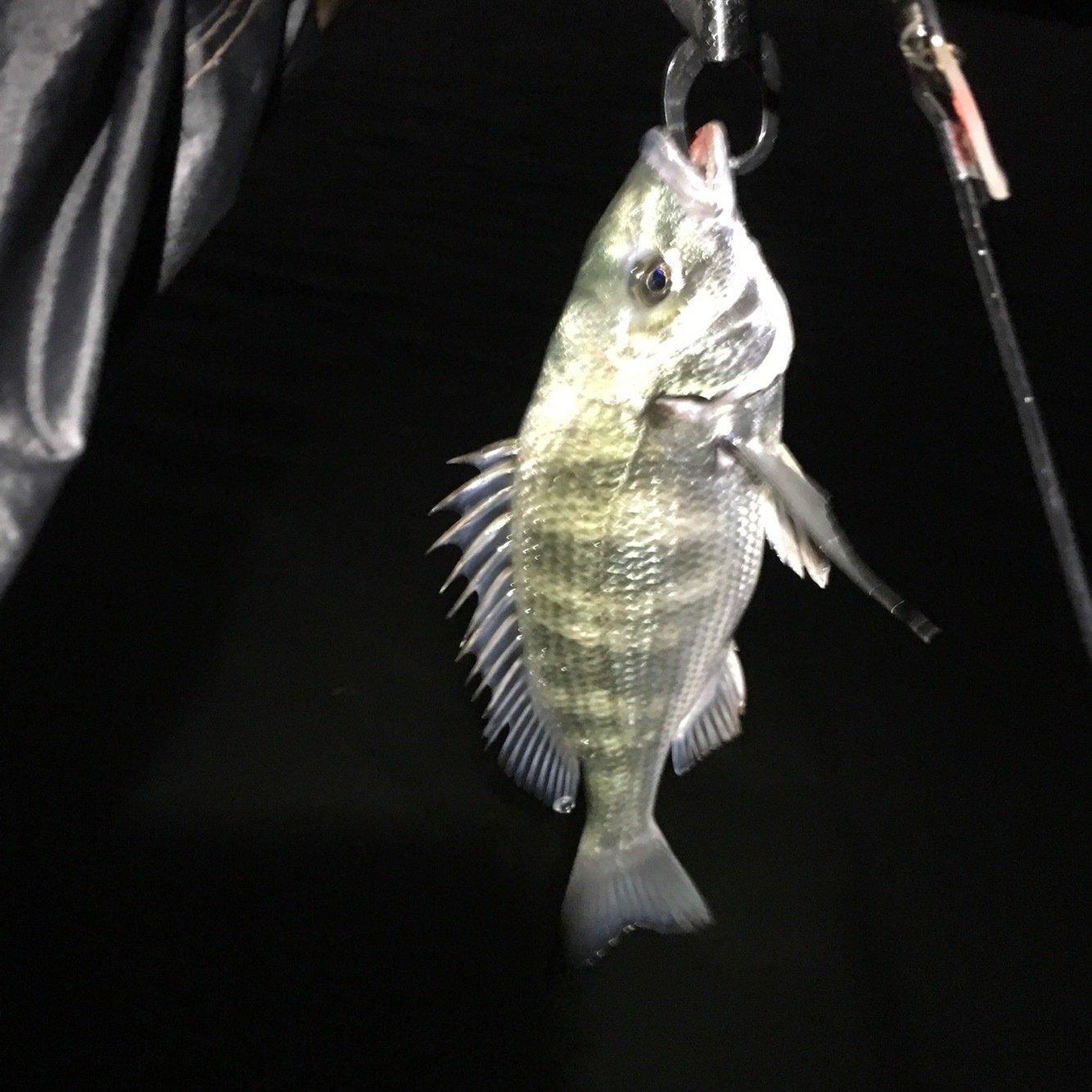 まささんの投稿画像,写っている魚はクロダイ