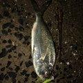 あきさんの長崎県松浦市での釣果写真