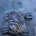 しんパパさんの青森県北津軽郡での釣果写真