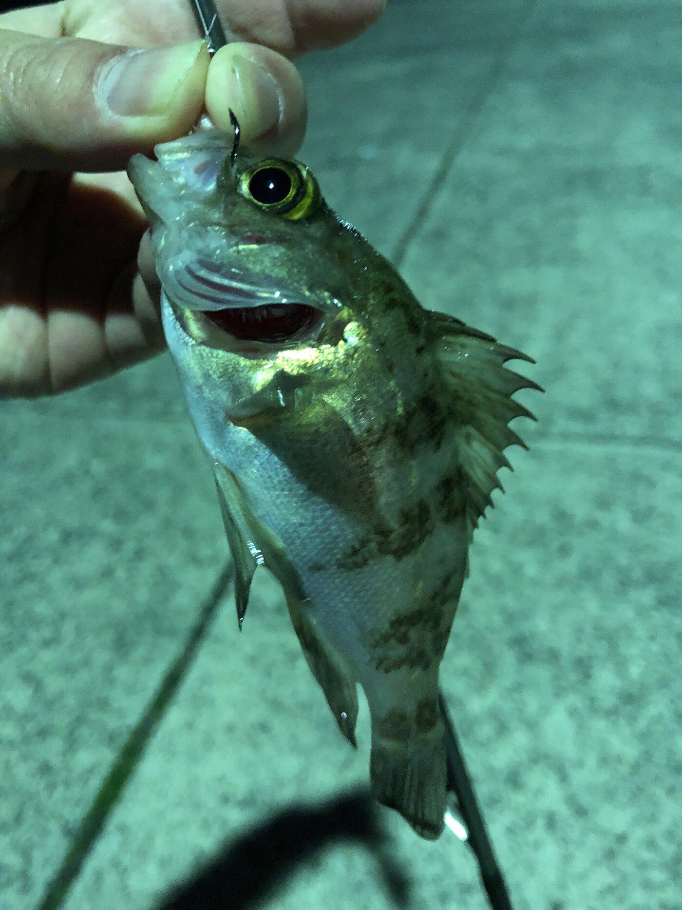 むらさんの投稿画像,写っている魚はメバル
