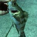 むらさんの福岡県中間市での釣果写真