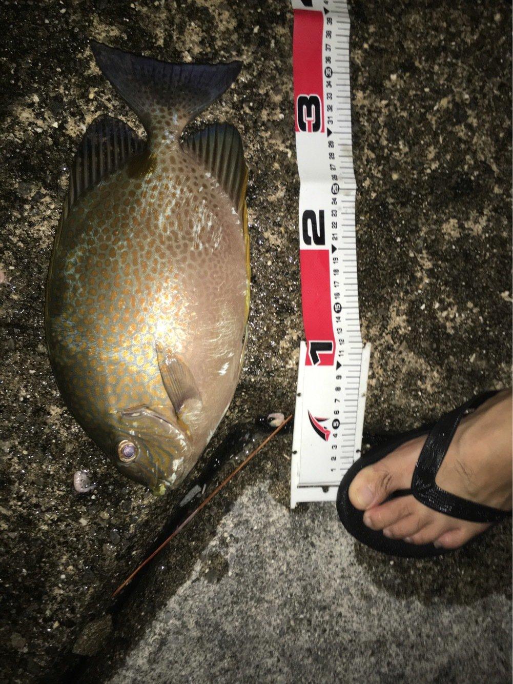 とーさんの投稿画像,写っている魚はゴマアイゴ