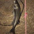 マサちゃんさんの兵庫県加西市での釣果写真