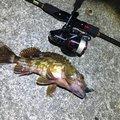 えびちゃん❗️さんの兵庫県明石市でのカサゴの釣果写真