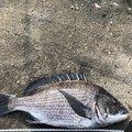 飯島   直道さんの千葉県安房郡でのクロダイの釣果写真