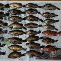 パーマン1号さんの香川県丸亀市での釣果写真