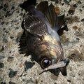 ひょーどるさんのシロメバルの釣果写真