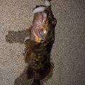 cootonsさんの三重県四日市市でのカサゴの釣果写真