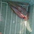 ろぎ(元おかっち)さんのヤリイカの釣果写真