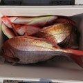 なおさんの長崎県西彼杵郡での釣果写真