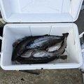シンさんの青森県下北郡での釣果写真