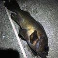 ばしおさんの兵庫県芦屋市でのメバルの釣果写真