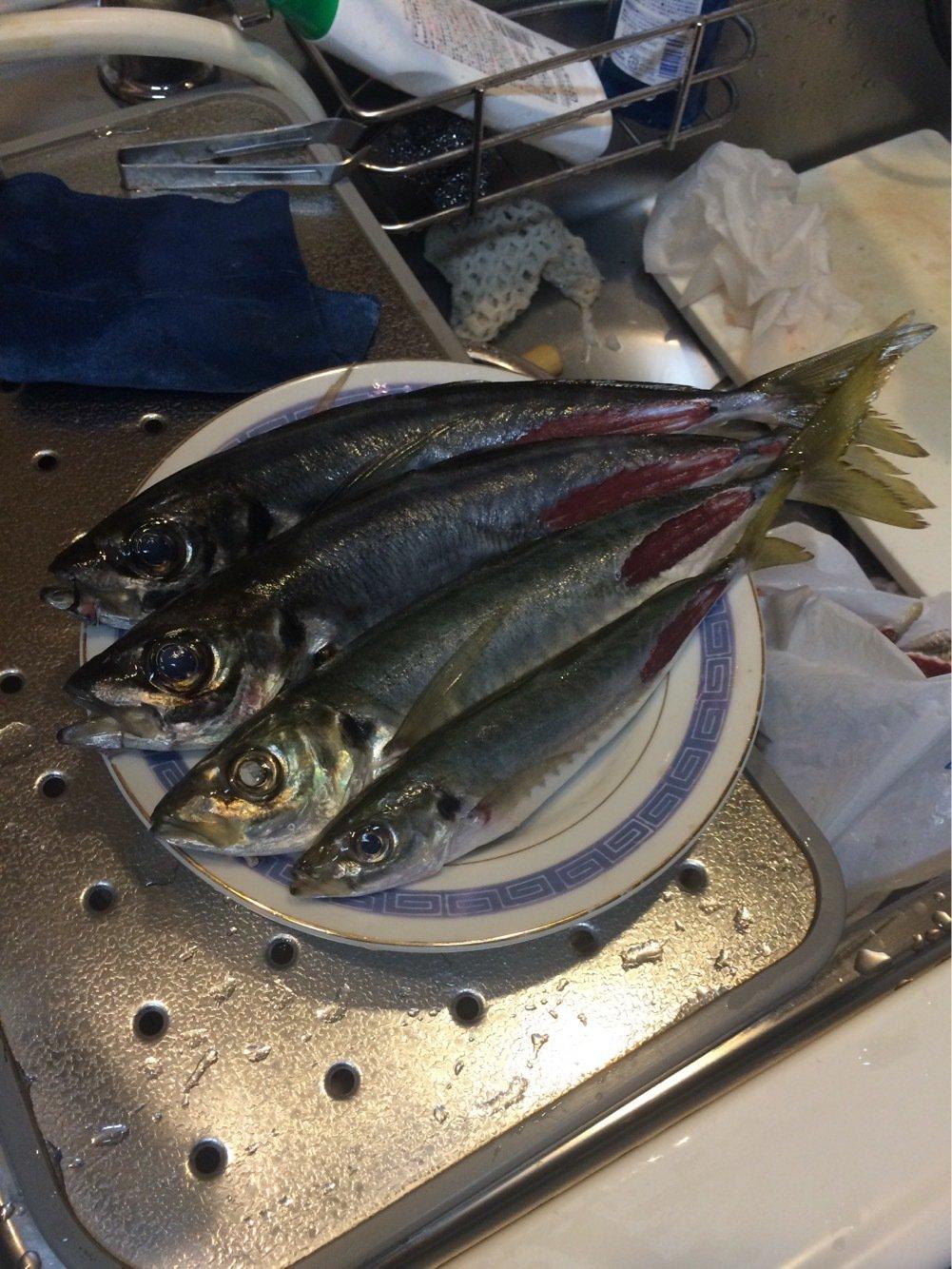 Kyoheiさんの投稿画像,写っている魚はアジ