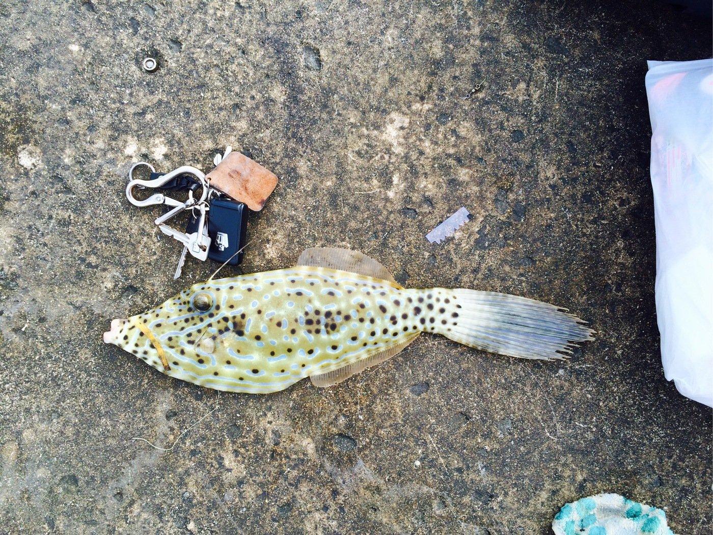 たくやさんの投稿画像,写っている魚はソウシハギ