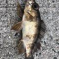 たかひろさんのメバルの釣果写真