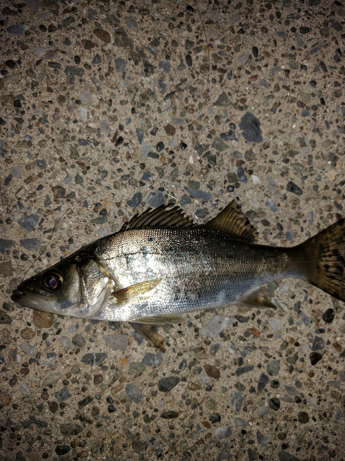 やすさんの投稿画像,写っている魚はスズキ