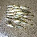グース125さんの千葉県鴨川市でのアジの釣果写真