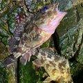 はぐれメバルさんの香川県坂出市での釣果写真