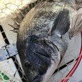 ピラフさんのクロダイの釣果写真