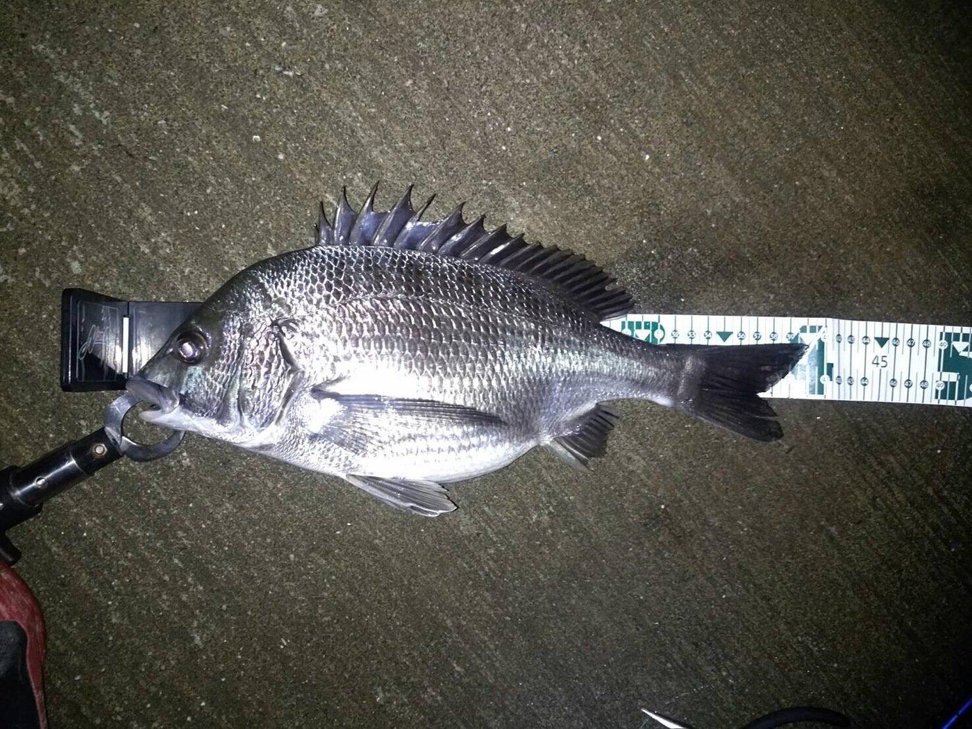 ゆうきさんの投稿画像,写っている魚はクロダイ