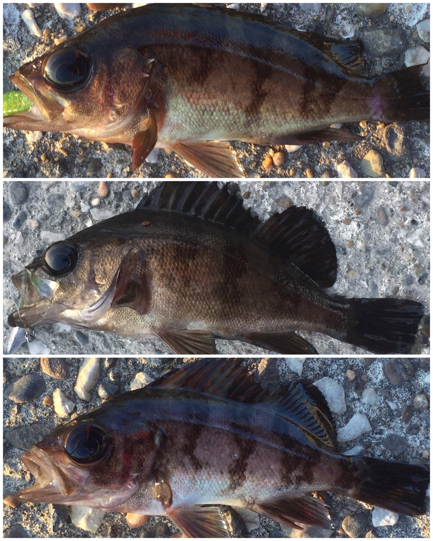 夏遥さんの投稿画像,写っている魚はメバル