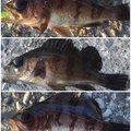 夏遥さんのメバルの釣果写真