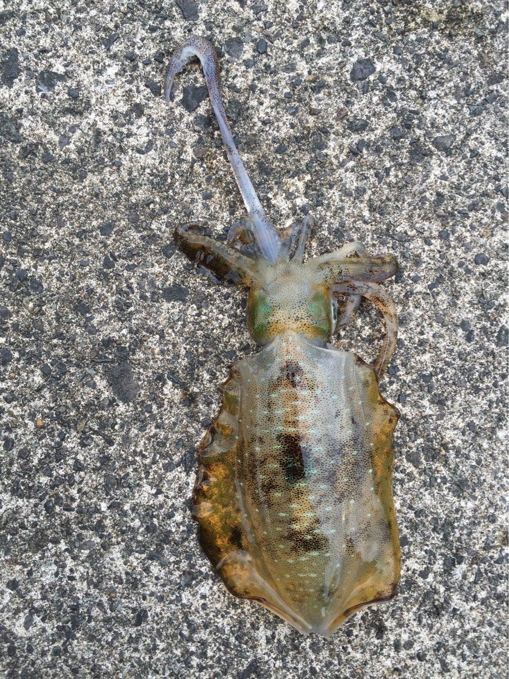 たちばなさんの投稿画像,写っている魚はアオリイカ