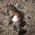 風来のモンドさんの兵庫県でのメバルの釣果写真