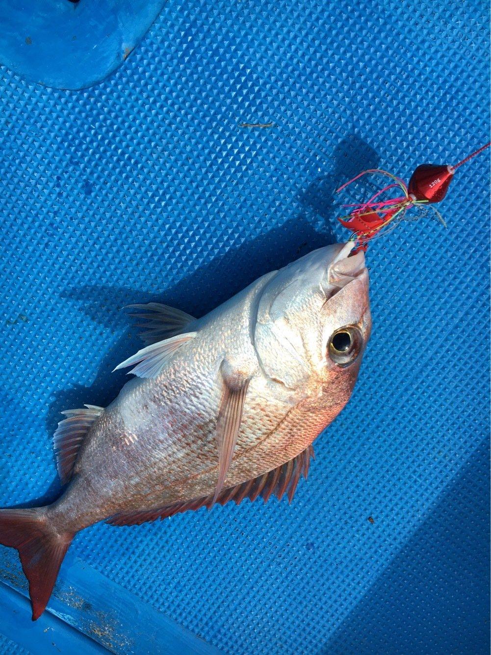 筆頭さんの投稿画像,写っている魚はマダイ