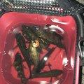 ツリガグさんのメバルの釣果写真