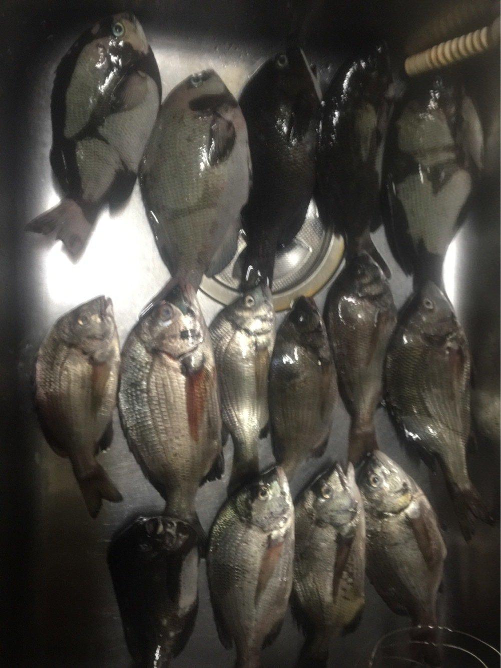 衛さんの投稿画像,写っている魚はメジナ