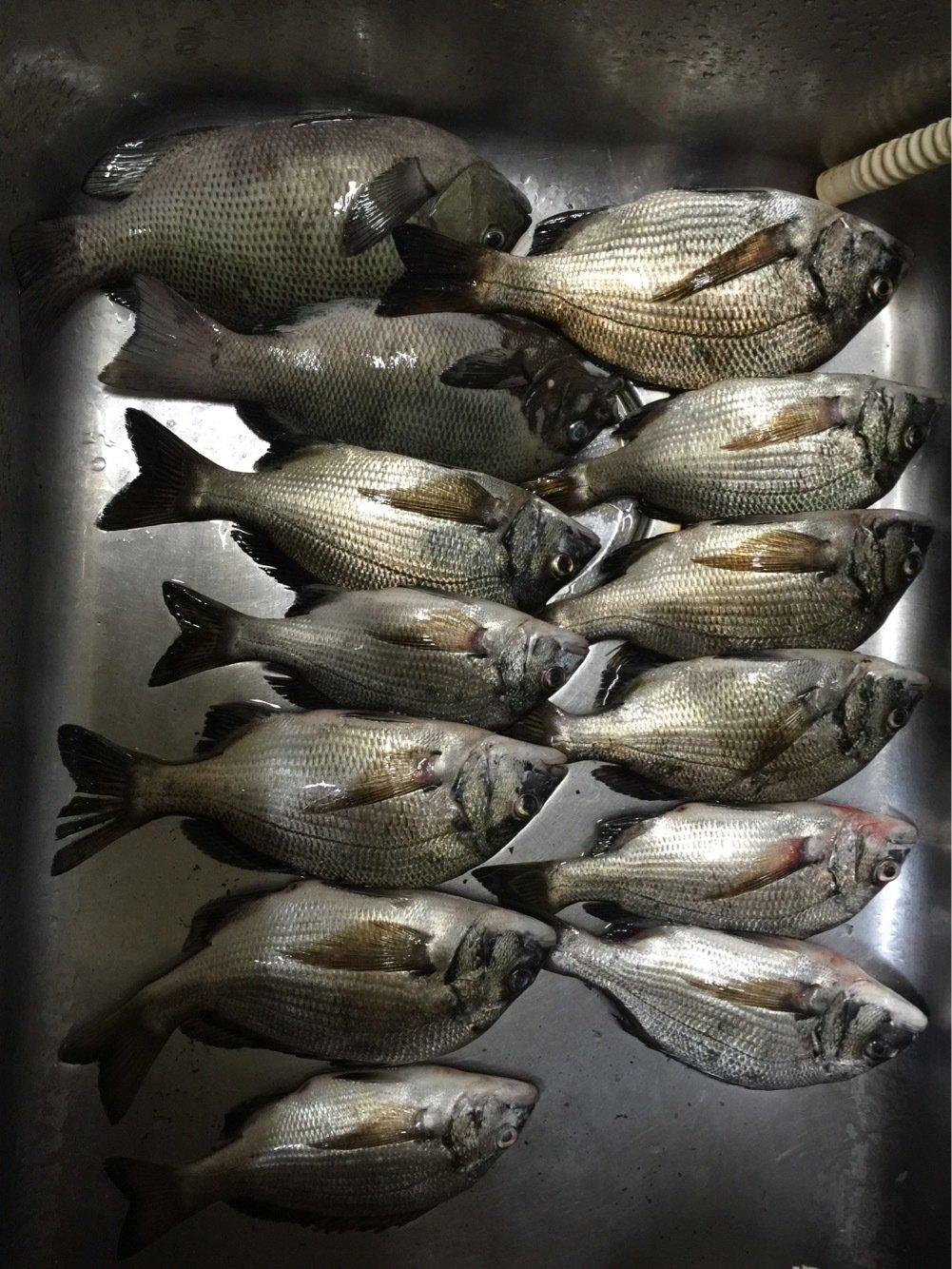 衛さんの投稿画像,写っている魚はクロダイ