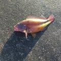 しでさんの沖縄県宮古島市での釣果写真