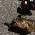 ねこまつさんの大阪府堺市での釣果写真