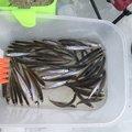 爆釣倶楽部会長さんの北海道砂川市での釣果写真