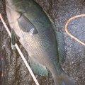 #釣りじじいさんの東京都大島町での釣果写真