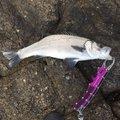 副部長さんの宮崎県日向市での釣果写真